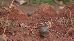 A Brown-rumped Seedeater stock footage
