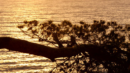 Golden Waters behind the Pines at Sunrise Footage