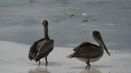 pelicans bird wildlife nature Footage