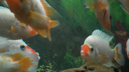Underwater footage of exotic fishes Footage