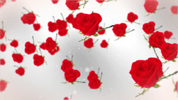 Roses against white Stock Video Footage