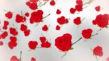 Roses Against White stock footage