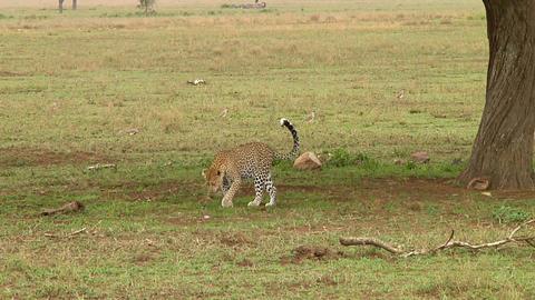 Leopard Stock Video Footage