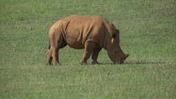 rhino wild animal mammel nature incredible species Footage
