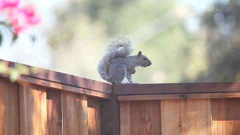 vocalizing squirrel on fence Footage