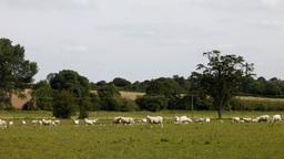 sheep00 Footage