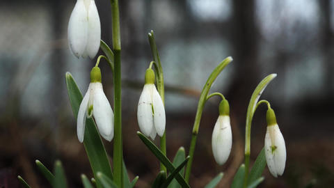 Snowdrops on the meadow. 4K Footage