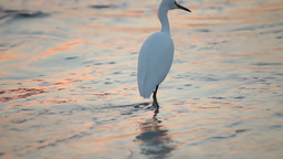 Great White Egret by the water's edge at sunrise Footage