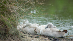 swans baby cygnets water lake Footage