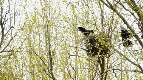 Two ravens in the nest on a tree Footage