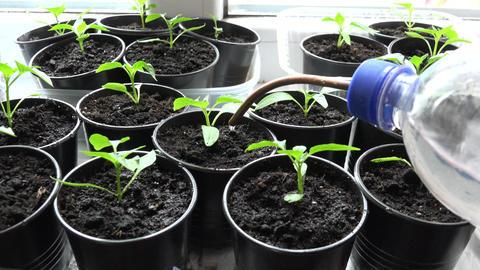 Paprika, Pepper Plants in Pots on Window. Watering process. 4K UltraHD, UHD Footage