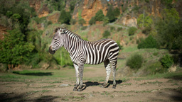 Zebra Mammel Wild Safari Nature Environment stock footage