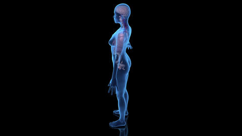 Female Body With Internal Organs Animation