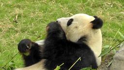 Big Panda Is Eating Bamboo stock footage