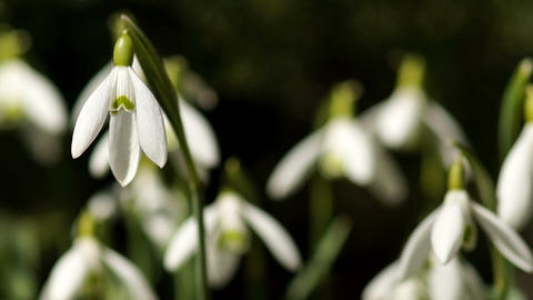 Few Young Snowdrops Swaying in the Wind Footage