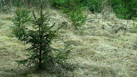 Young Spruce Swaying in the Wind Footage