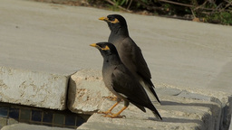 Common Myna (Acridotheres Tristis) Two Birds On The Sidewalk stock footage