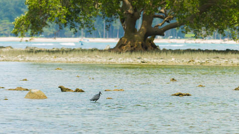 Heron fishing in a tidepool with an old mangrove in the background Footage
