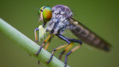 Asilidae (robber fly) sits on a grass with prey. Thailand Footage
