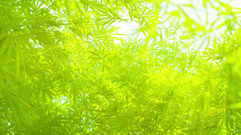 Bamboo Leaves in soft. Delicate Lighting Footage