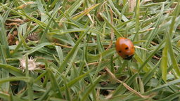 Ladybug (Coccinellidae) walking in the grass (1) Footage