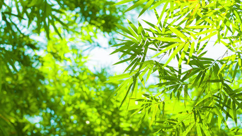 Bamboo Leaves Swaying Softly in a Light Breeze Footage