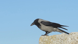 A hooded crow (Corvus cornix) is getting ready for take off Footage