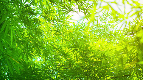 Green and Yellow Bamboo Leaves in Soft Light Footage