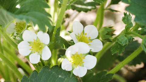 4k video - Extreme closeup. macro shot of living. white strawberry flowers with  Footage