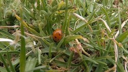 Ladybug (Coccinellidae) walking in the grass (3) Footage