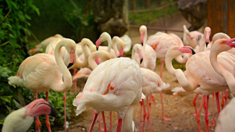 FullHD Video - Flock Of Pink Flamingos Preening For The Camera stock footage