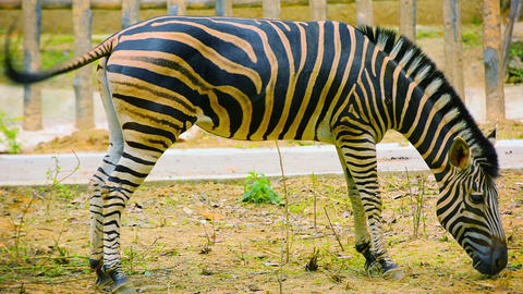 Video - Zebra Grazing Happily in a Zoo Enclosure Live Action