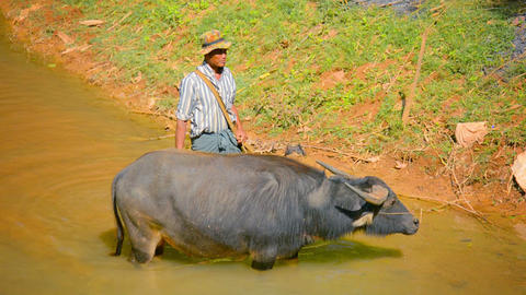 INLE LAKE. MYANMAR - CIRCA JAN 2014: A local farmer with a bull in a small river Footage