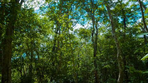 Upward Tilting Shot of Jungle Foliage and Trees Footage