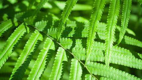 Closeup Tracking Shot of Wild Fern Leaves in Asian Wilderness Footage