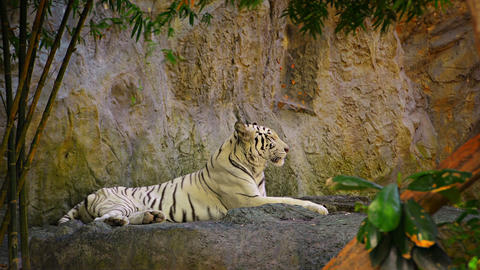 Video - White Bengal Tiger Relaxes in His Zoo Habitat Footage