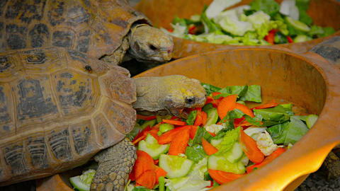 Tortoises at Feeding Time at Chiang Mai Zoo in Thailand Footage