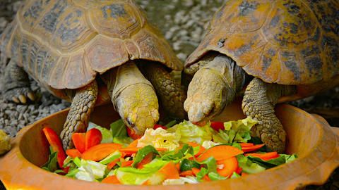 Tortoises Eating Vegetables in the Reptile Exhibit at Chiang Mai Zoo in Thailand Footage