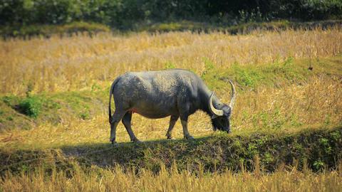 Water Buffalo Grazing on Farm near Luang Prabang. Laos Footage