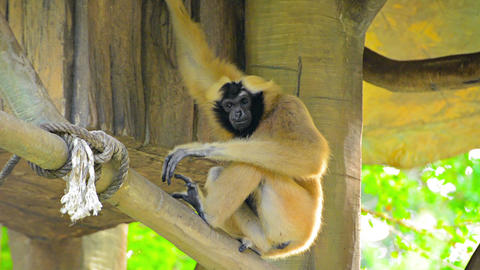 Endangered Lar Gibbon in Tree House Habitat at Chiang Mai Zoo Live Action