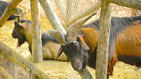 Goat lazily chewing his cud at Chiang Mai Zoo in Thailand Footage