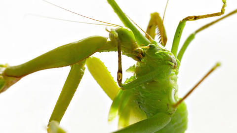 Praying Mantis Eating a Grasshopper Footage