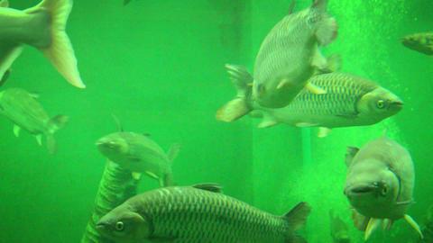 Big Fish At Aquarium In Ayutthaya. Thailand stock footage