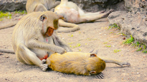 Troop of Long Tailed Macaques Grooming in Thailand Footage