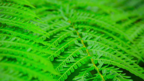 Tree Branch with Compound Leaves in Selective Focus Footage
