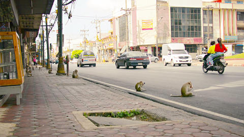 BANG PA-IN. THAILAND - CIRCA NOV 2013: Troop of monkeys playing on a busy. urban Live Action