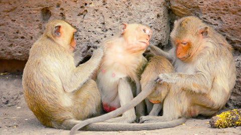 Troop of Crab Eating Macaque Monkeys in Thailand Footage