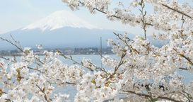 4 K 富士山さくら Mt_fuji and cherry blossoms Footage