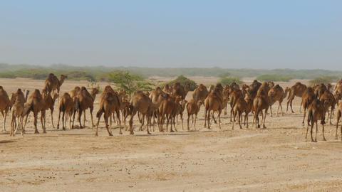 Large herd of camels walking trough oman desert Footage