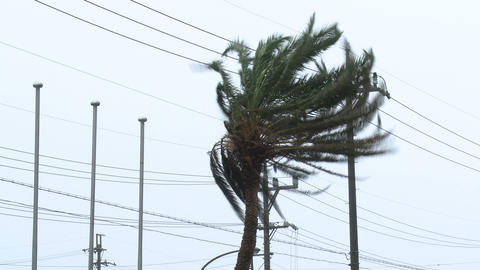 Palm Tree Thrashes In Tropical Storm Winds stock footage
